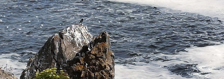 Avecilla en el risco como si contemplase el mar